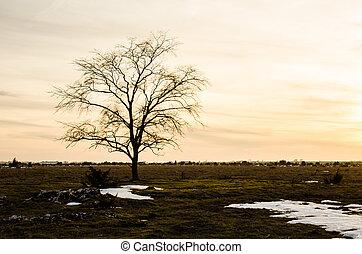Lone elm tree at sunset