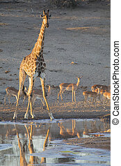 Lone giraffe drinking water at a pond in late afternoon