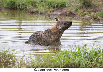 Lone hyena swim in a small pool to cool down on hot day