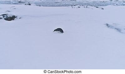 Lone king penguin antarctic snow surface landscape