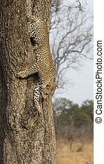 Lone leopard climbing fast down a high tree trunk in nature during daytime