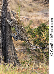 Lone leopard climbing fast up a high tree in nature during daytime