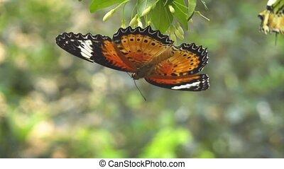 Lone Leopard Lacewing Butterfly Feeding Upsidedown -...