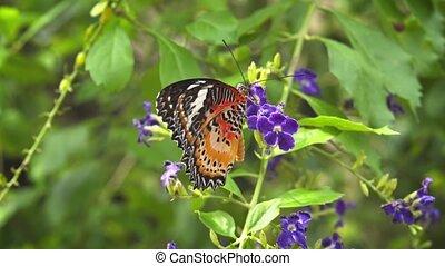 Lone Leopard Lacewing Butterfly on Purple Flowers. 1080p...
