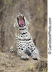 Lone leopard lay down to rest on anthill in nature during daytime