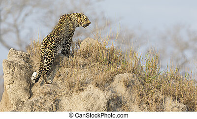 Lone leopard sit down resting on anthill in nature during daytime