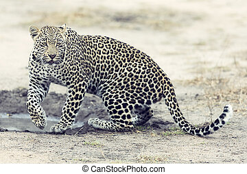 Lone leopard walking and hunting during daytime