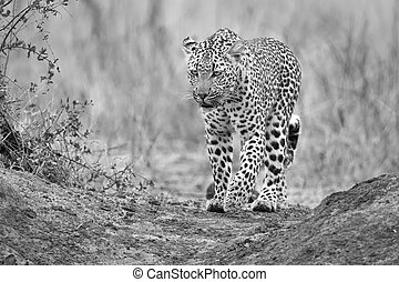 Lone leopard walking and hunting in nature  artistic conversion
