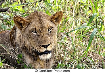 Lone Lion in Hluhluwe-Umfolozi Game Reserve, South Africa