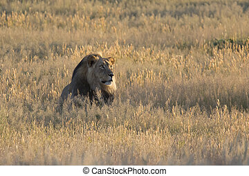 Lone lion male lay down to rest in Kalahari grass