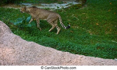 UltraHD video - Lone, male cheetah marks his territory on a tree, then casually strolls along a precarious, rocky ledge in his habitat enclosure at a zoo.