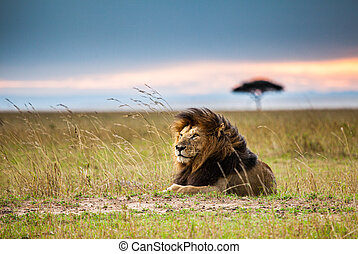Lone male lion staring