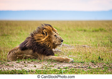 Lone male lion staring over the Masai Mara in the evening