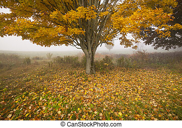 Lone maple tree on a foggy fall morning in Vermont, USA -...