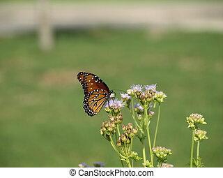 Lone Monarch Butterflies Feeding