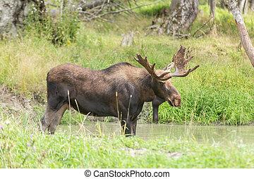 Lone moose in summer