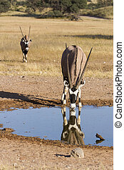 Lone Oryx drinking water from a pool in the hot Kalahari sun