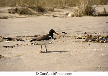 Lone Oyster Catcher