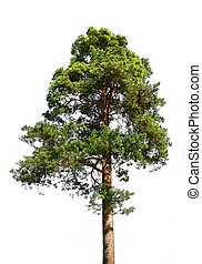 Lone green pine tree isolated on white