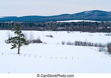 Lone Pine treeon a farm in the winter