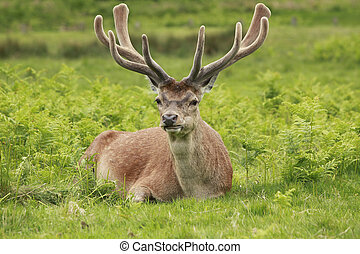 Lone Red Deer Stag resting in a meadow field