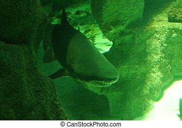 Lone shark in dark green water scene