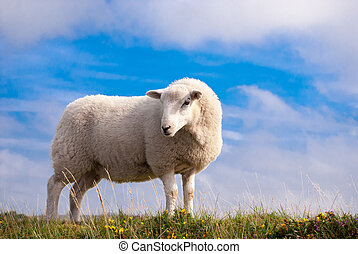 Lone Sheep - A single sheep standing on grass against a ...