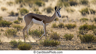 Lone springbok jogging to its herd late in the afternoon on a Kalahari plain