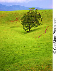 Lone Surviver - Lone shade tree for miles on the rolling...