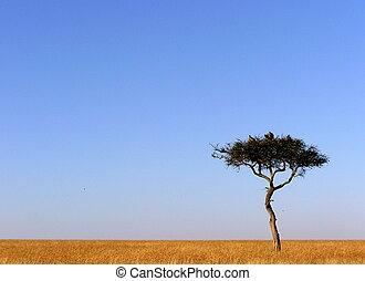Acacia tree in grasslands of Maasai Mara, Kenya Africa