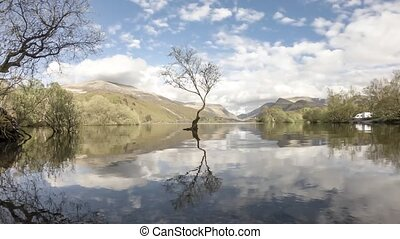 Lone Tree at Llanberis, Snowdonia National Park -...