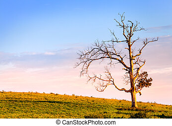 Lone tree - Image of an old bare tree on a hill at sunset
