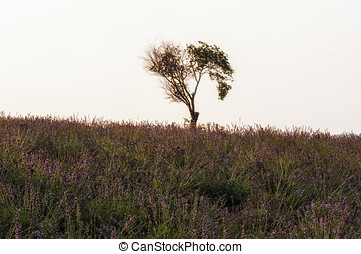 Lone tree in a field of lavendar