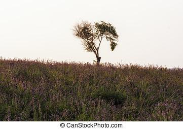 Lone tree in a field of lavendar