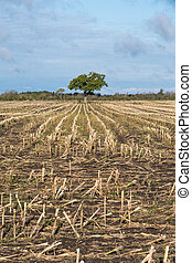 Lone tree in a harvested corn field