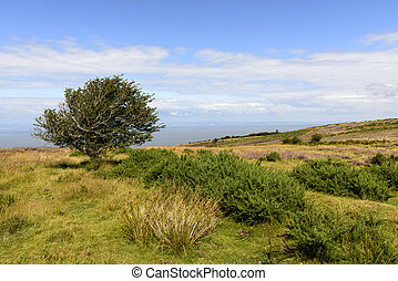 lone tree in moor and Bristol channel, Exmoor