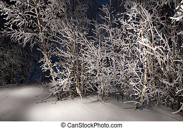 Lone trees in snowy woods. A wintry forest at night.