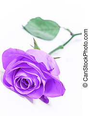 lone violet rose; on white