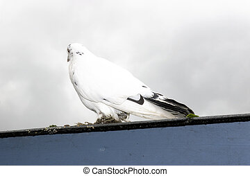 lone white dove on roof