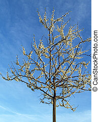 Lone White Redbud Tree - a less common redbud tree with...