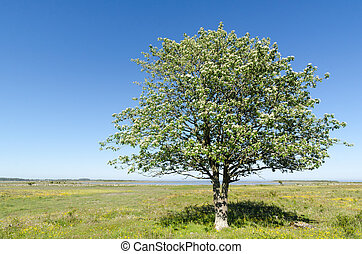 Lone Whitebeam tree by springtime in a green and bright...