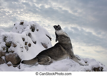 lone wolf howls in the snowy mountains - the wolf is alone ...