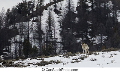 lone wolf on a hilltop - a lone wolf stands on a snowy ...