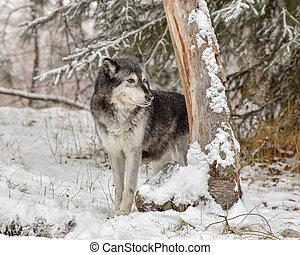 Lone Wolf peeking around the Trunk of a Tree