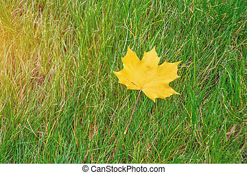 Lone yellow maple leaf on green grass.