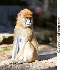Lonely African Patas monkey