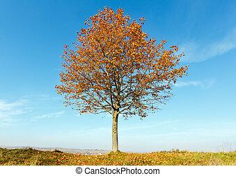 Lonely autumn maple tree