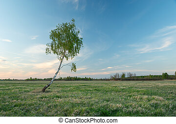 Lonely birch tree with leaves on the meadow