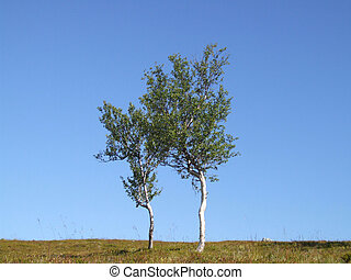 Lonely birch trees