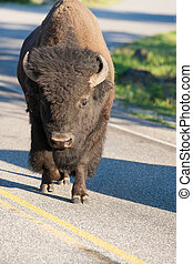 Lonely bison on the road in Yellowstone, Wyoming, USA